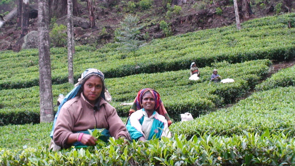 Women plucking tea leaves (two leaves and a bud).